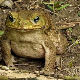 Bossman by Marilyn Kircus - Animals Amphibians ( cane toad, invasive toad, rhinella marin, toads, amphibians )