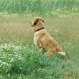 Watching Birds by Christine McEwan - Animals - Dogs Portraits ( peaceful, dogs, golden retrievers, dept of fish and wildlife, watching birds, skagit county, portrait, bird watching, washington, washington state, sitting, wetlands, serene, meadow, dog, golden retriever,  )