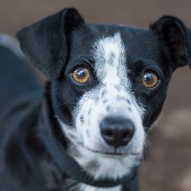 Amaya 2 by Jennifer Wollman - Animals - Dogs Portraits ( animals, pet photography, dogs, dachshund, dog portrait )