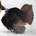 Wild Turkey (male)