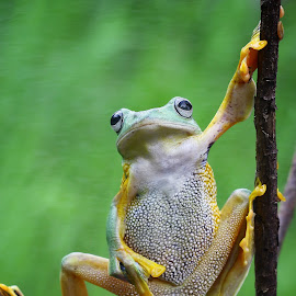 heyyy bro by Muhammad Ridha - Animals Amphibians ( macro, macro photography, frog, flyingfrog, enjoy,  )
