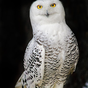 White owl by Gérard CHATENET - Animals Birds
