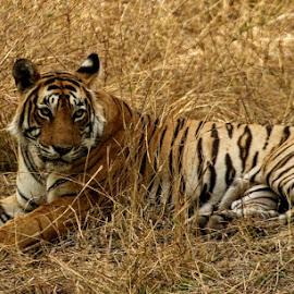 T41 Laila Ranthambhore National Park  by Mukesh Chand Garg - Animals Lions, Tigers & Big Cats ( ranthambhore national park, animals, tiger, royal bengal tiger, photography, sawaimadhopur, laila )