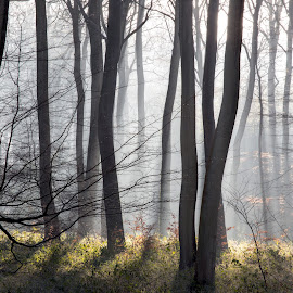 WInter Morning Woods by Ceri Jones - Landscapes Forests ( winter, season, runlight, oxfordshire, trees, woodland, forest, morning, woods )