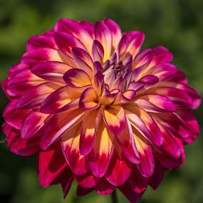 Pink & Yellow Dahlia by Ruth Sano - Flowers Single Flower ( colorful, dahlias, flowers,  )