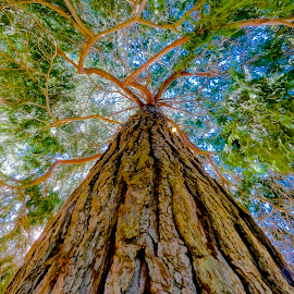 Straight Arrow by Barbara Brock - Nature Up Close Trees & Bushes ( canopy of tree, huge tree, looking up the tree trunk, straight tree, tree trunk )