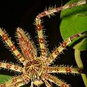 Lichen Mimic Huntsman Spider