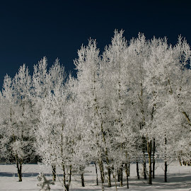 White Trees by SoulGypsy Entertainment - Landscapes Forests