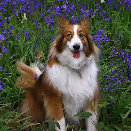 Ruby in the Bluebells by Chrissie Barrow - Animals - Dogs Portraits ( tongue, long haired, white, woods, bluebells, portrait, eyes, female, pet, ears, fur, dog, sheltie, crossbreed, nose, tan )