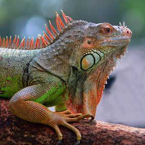 by Ajar Setiadi - Animals Reptiles
