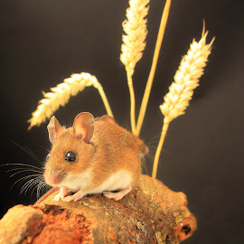 by Tony Walker - Animals Other Mammals ( mouse wheat log posing whiskers )