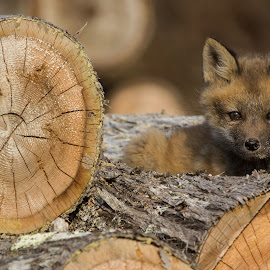 by Jean-Philippe Lemieux - Animals Other ( fox, nature, wildlife, baby, cub )