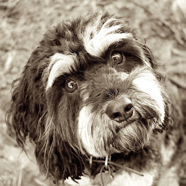 Lucy cavoodle sepia by Donna Racheal - Animals - Dogs Portraits ( canine, animals, sepia, dogs, cavoodle, pets,  )
