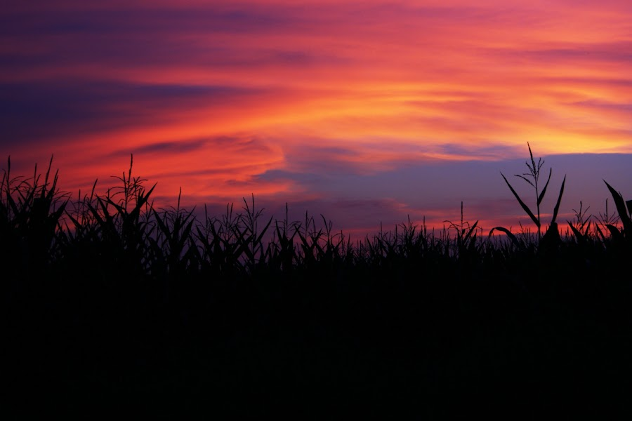 Cornfield Sunset by Kevin Sullivan - Landscapes Prairies, Meadows & Fields ( clouds, field, magenta, sunset, cornfield, athens, alabama, corn, country )
