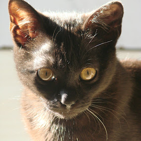 Cat in the Light by Ivan Mendes - Animals - Cats Portraits ( cat, yellow, light, sun, rays, black, eyes )