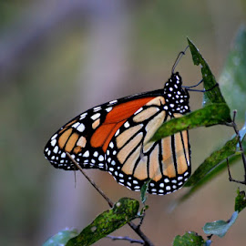 Monarch Butterfly by Pam Alexander - Animals Insects & Spiders