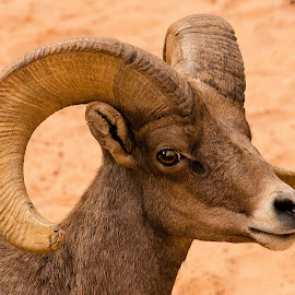 Bighorn Sheep in Zion National Park, Utah by Mike Vaughn - Animals Other Mammals