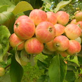 The Crab Apple Tree by Cynthia Wildes - Food & Drink Fruits & Vegetables ( crab apple, fruit trees, fruit, apples, apple tree )