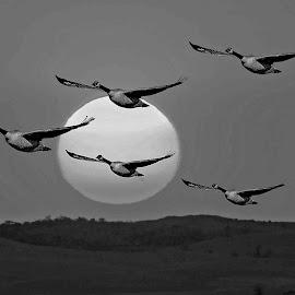 Gander in Sunset by Will McNamee - Black & White Animals ( mcnamee2169@yahoo.com, danielmcnamee@comcast.net, ronmead179@comcast.net, aundiram@msn.com,  )