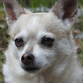 Olive by Chrissie Barrow - Animals - Dogs Portraits ( white, terrier, rough, portrait, cream, eyes, female, pet, fur, dog, chihuahua, crossbreed, nose )