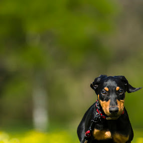 Doberman Puppy  by Sarah Hauck - Animals - Dogs Running ( puppy, dog, running puppy, doberman, running, doberman pincher )