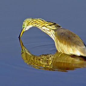 Heron by Muhammad Amin Zia - Animals Birds