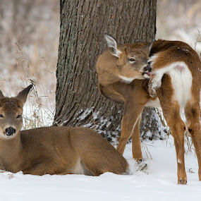 White-tailed deers / cerf de Virginie by Rachel Bilodeau - Animals Other Mammals ( white-tailed deers / cerf de virginie )