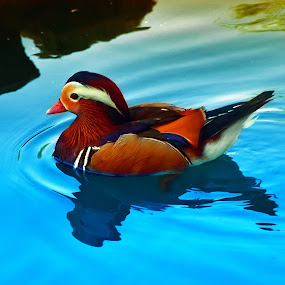 Mandarin Duck 2 by Arjay Jimenez - Animals Birds