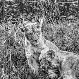 Playful Lion Cubs by Marc Mulkey - Black & White Animals ( lion, zoo, black and white, seattle, cub )