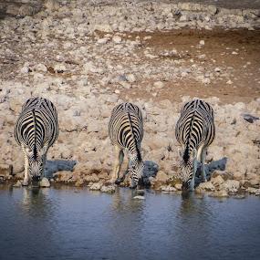 Meetin at the Waterhole by Karin Wollina - Animals Other Mammals ( wild, zebra, africa, waterhole, animal,  )