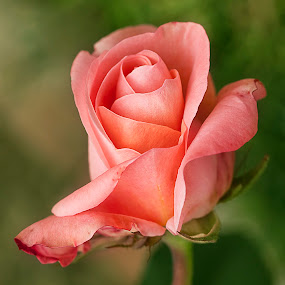 gorgeous!! by Bharat Dudeja - Nature Up Close Flowers - 2011-2013 ( rose, nature, petals, beauty, flower )