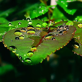 on leaves by Capucino Julio - Nature Up Close Natural Waterdrops ( nature, colorful, green, on, leaves, droplets )