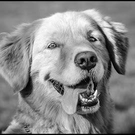 Golden Retriever by Dave Lipchen - Black & White Animals ( golden retriever )