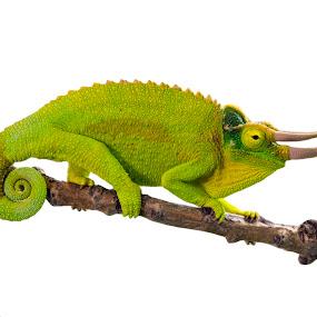Three-horned chameleon by Lajos E - Animals Reptiles ( climbing, chamaeleonidae, jacksoni, african, jackson, xantholophus, horned, branch, terrarium, chamaeleo, reptile, chameleon, three-horned,  )