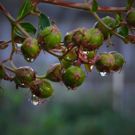 Raindrops on crape myrtle buds by Bill Martin - Nature Up Close Natural Waterdrops ( macro photography, raindrops, buds )