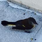 American Redstart - female/juvenile