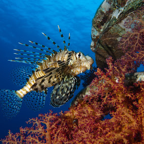 Devil lionfish by Hezi Shohat - Animals Fish ( red sea, eilat, devil lionfish, em1, olympus )