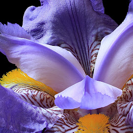 Iris by Besnik Hamiti - Flowers Single Flower ( plant, purple, beautiful, iris, spring, flower )