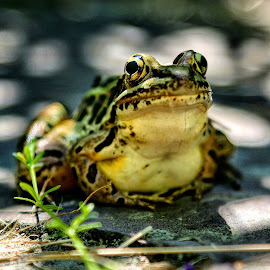 Hello There by Brian Homitz - Animals Amphibians ( pickerel frog, frog, amphibian, lake, fishing, amphibians, eyes,  )