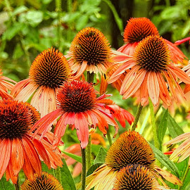 Coneflowers in orange by Mary Gallo - Flowers Flower Gardens ( flowers, orange coneflowers, nature, coneflowers, nature up close, garden flowers,  )