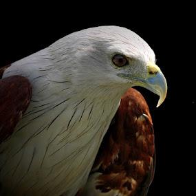 Revenge by Prana Jagannatha - Animals Birds ( bird, eagle, wildlife )
