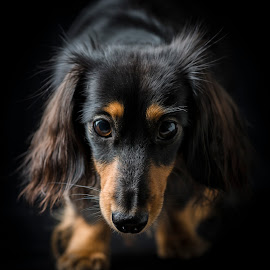 Dachshound portrait by Juha Kauppila - Animals - Dogs Portraits