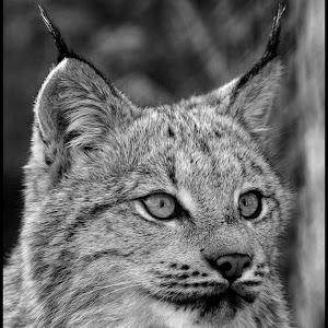 Lynx-44.jpg