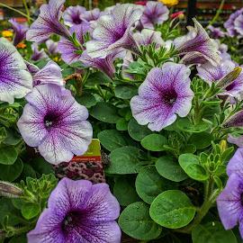Lavender Beauty by Pat Lasley - Instagram & Mobile iPhone ( purple, plants, flowers, floral, flower )