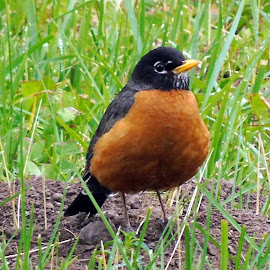 BIG BREAST by Cynthia Dodd - Novices Only Wildlife ( robin, nature, grass, outdoors, wildlife, birds )