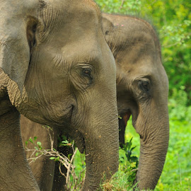 Pair by Tomasz Budziak - Animals Other ( elephants, animals, asia,  )