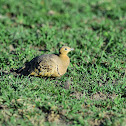 Sandgrouse : Chestnut-bellied Sandgrouse
