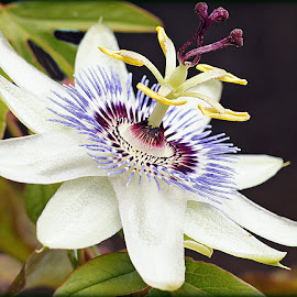 passion flower by Caroline Beaumont - Flowers Single Flower ( purple, stamens, white, yellow, passion flower )