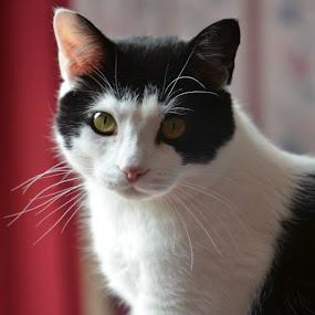 Sheldon by Moe Cusick - Animals - Cats Portraits (  )