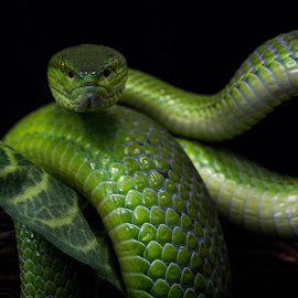ready, steady by Leani du Plessis - Animals Reptiles